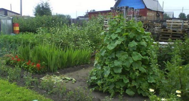 выращивание огурцов методом «елочка».