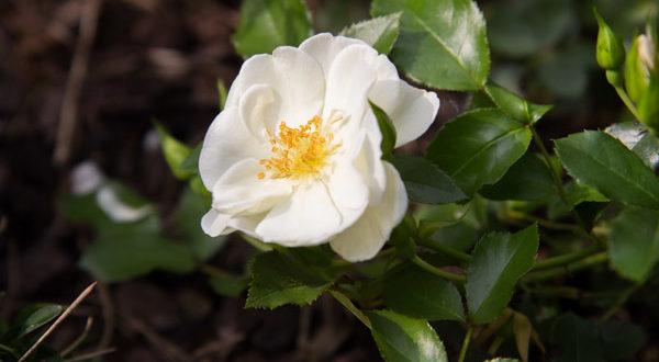 Розы: Почвопокровные - Прочные и обильноцветущие сорта.